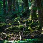 Japan's Suicide Forest: Aokigahara