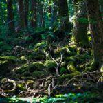 Aokigahara : La Forêt des Suicides et sa beauté cachée