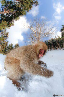 Jigokudani Monkey