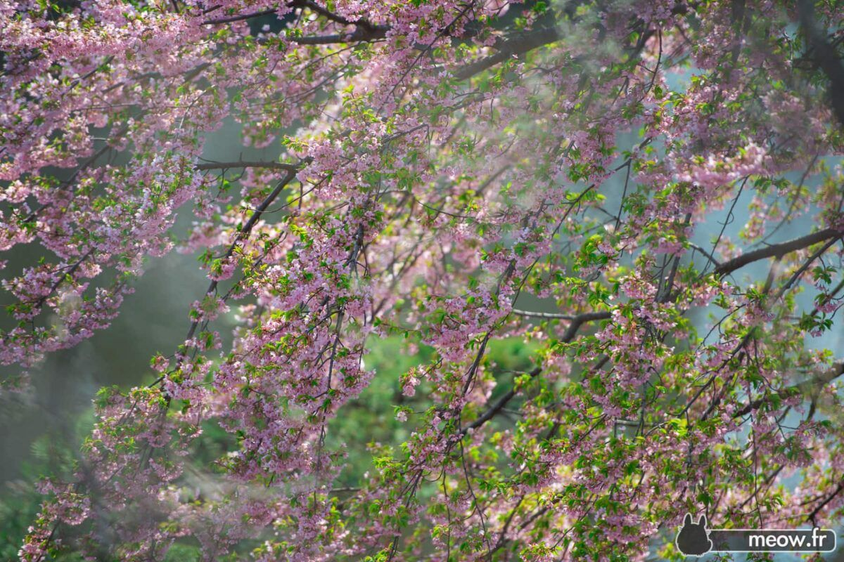 Peace Roof Sakura
