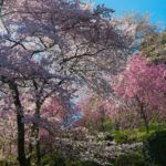 Yoshinoyama, la Montagne aux Sakura